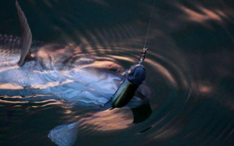 Réglementation 2020 : pêche du bar